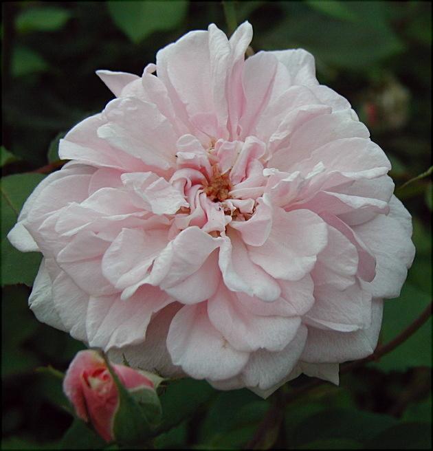 Cecile bush Rose