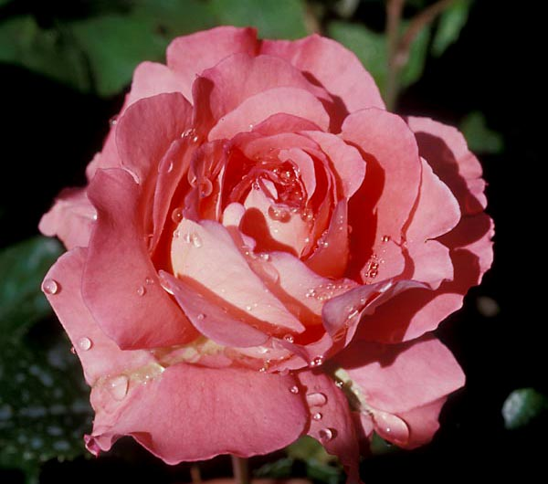 Waihekel Rose